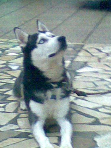 My Sweet Husky^^