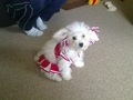Poppy - bichon-frises photo