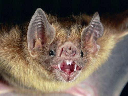 >vampire bat<