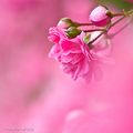 Beautiful roze foto