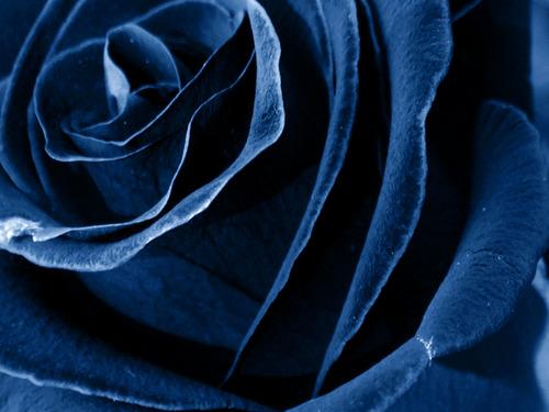 Forever गुलाब