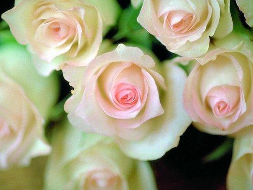 Forever mga rosas