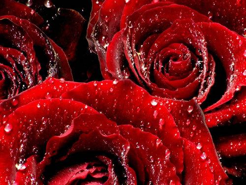 Forever Розы
