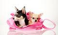So Cute ❤  - chihuahuas photo