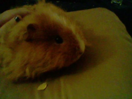 my guinea ANNIE