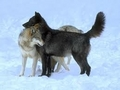 wolfs - the-anubians-wolf-pack photo