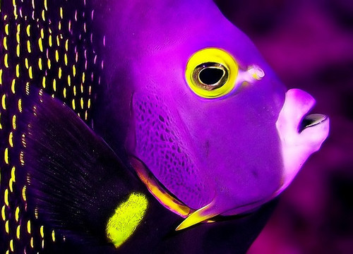 Purple Fish - purple Photo