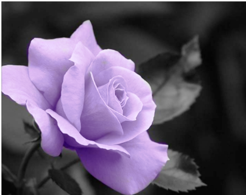 Purple Hintergrund with a begonia, a camellia, and a rose titled Purple Rosen