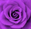 Purple 장미