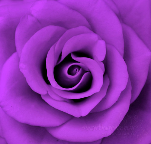 Purple 바탕화면 containing a rose titled Purple 장미