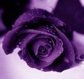 Purple ফুলেরসাজি