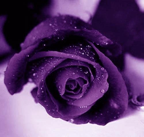 purple images purple roses wallpaper and background photos 21933067