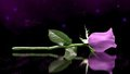 Purple Rosen