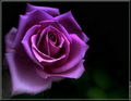 Purple Roses - purple photo