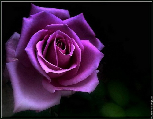 Purple バラ