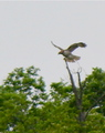 Red-tailed Hawk Perching - hawks photo