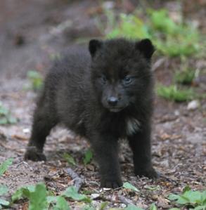 狼, オオカミ Pup