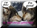 funny wolves - the-anubians-wolf-pack photo