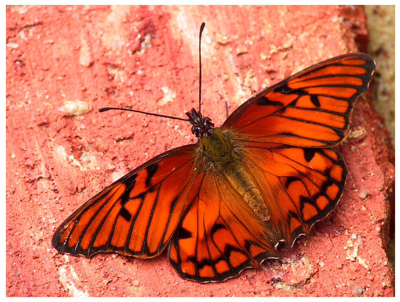 Art and Pictures! images red butterfly HD wallpaper and ...