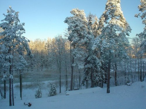 snow fond d'écran containing a ponderosa and a beech called snow