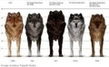 wolf mesuring