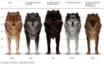 serigala mesuring