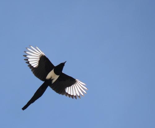 A Black-Billed Magpie in Flight
