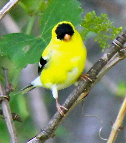 Beautiful American Goldfinch