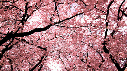 チェリー blossoms