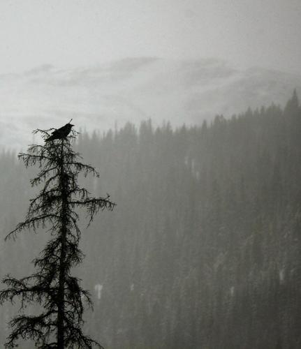 cuervo Perching on a árbol
