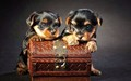 puppies - Cute Puppies :) wallpaper