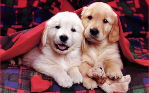 Puppies wallpaper with a golden retriever called Cute Puppies :)
