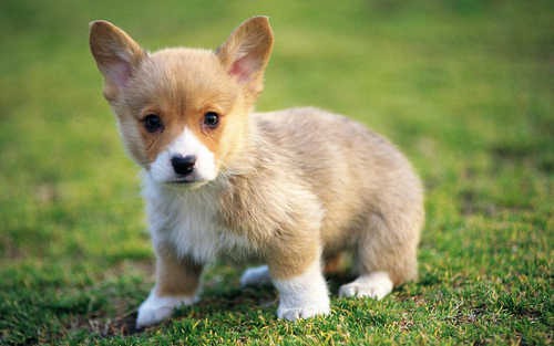 Puppies images Cute Puppies :) HD wallpaper and background photos