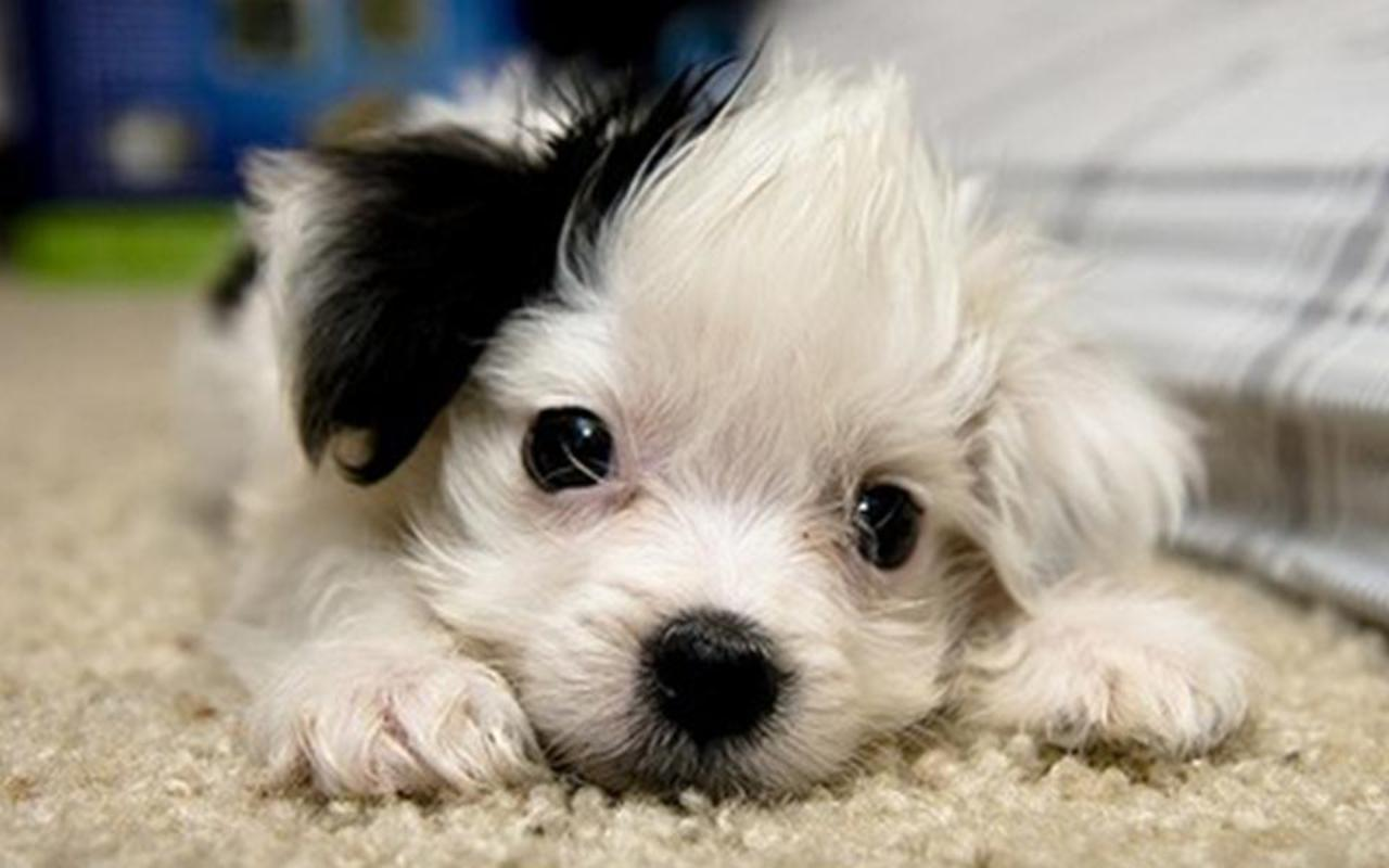 Cute Puppies :) - Puppies Wallpaper (22040895) - Fanpop fanclubs
