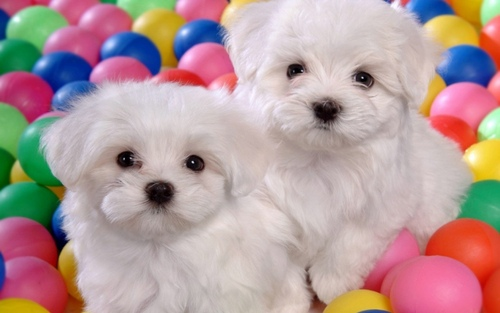 Puppies پیپر وال containing a maltese dog called Cute Puppies :)