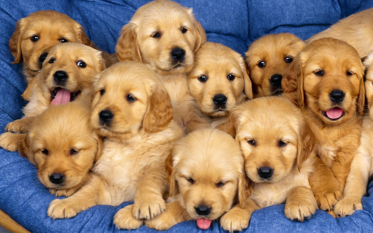 cute puppies puppies wallpaper 22040946 fanpop