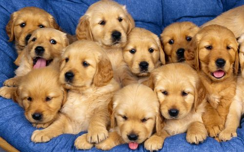 Puppies wallpaper with a golden retriever titled Cute Puppies :)