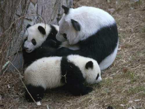 Pandas wallpaper possibly with a giant panda titled Pandas!