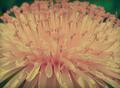 گلابی پھول