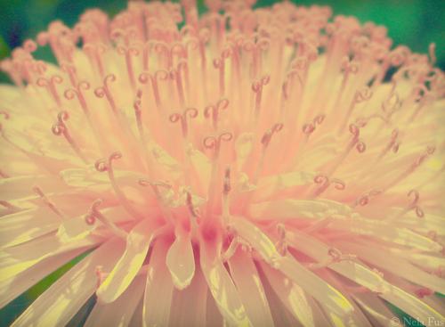 담홍색, 핑크 vintage 꽃