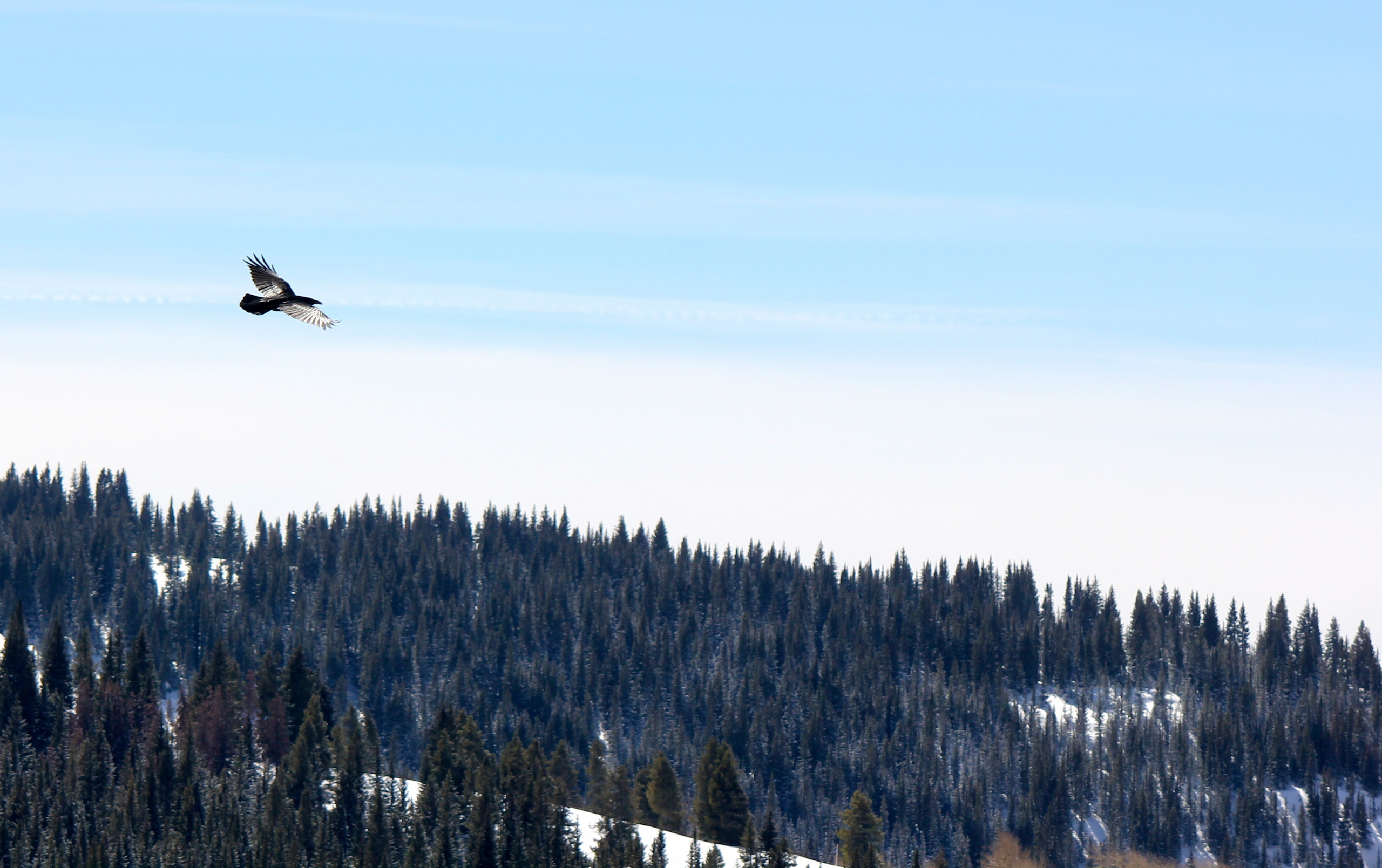 wildlife photography images raven flying over vail, colorado hd