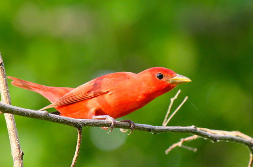 Stunning Summer Tanager