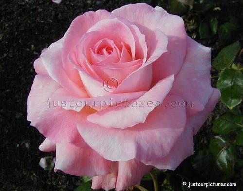 Baby roze rose for u Frances