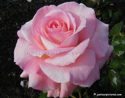 Baby गुलाबी rose for आप Frances