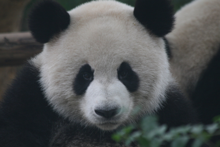Pandas images Cute Pandas!!!! wallpaper and background photos