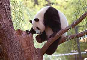 Cute Pandas!!!!