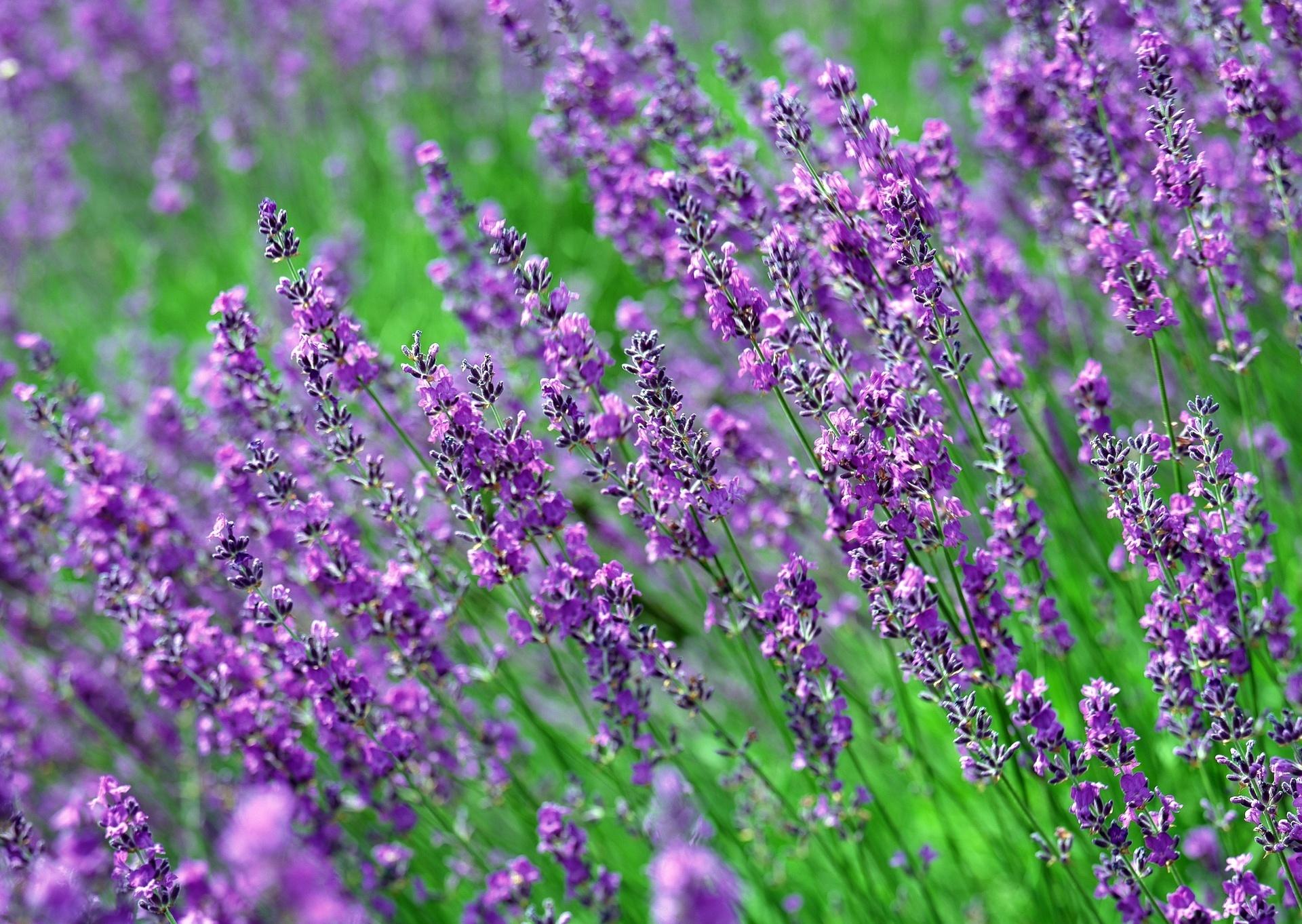 Фиолетовый цветок название по фото