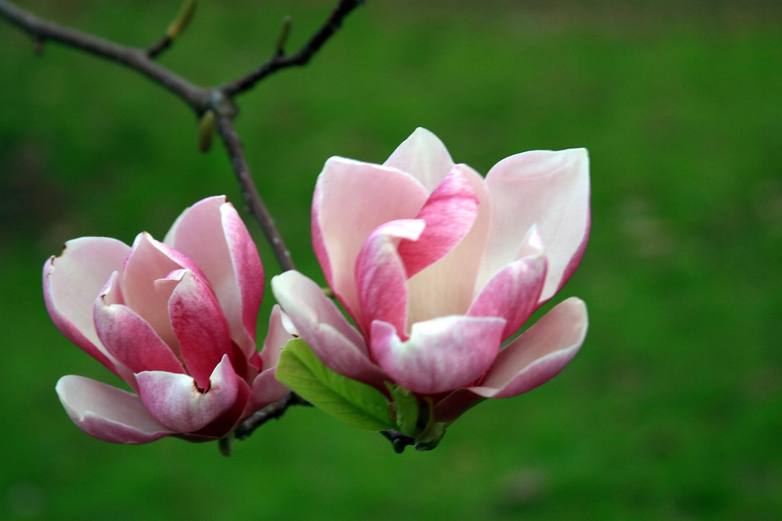 Flower Roses Fanpop