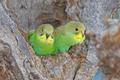 Green Budgies