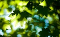 Green leaves - green wallpaper